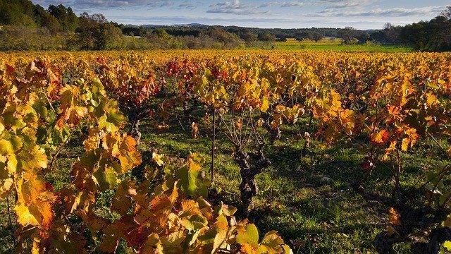 Vignes près de Bédarieux