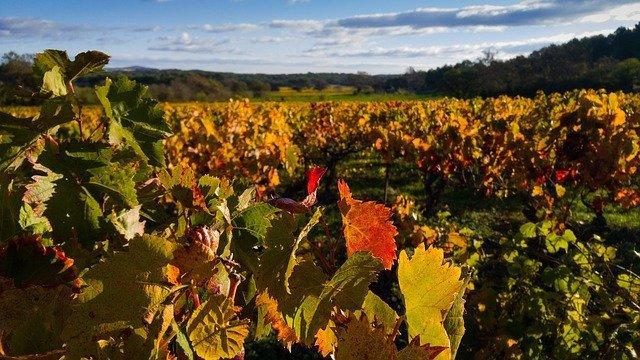 Vignes près de Saint-Chinian